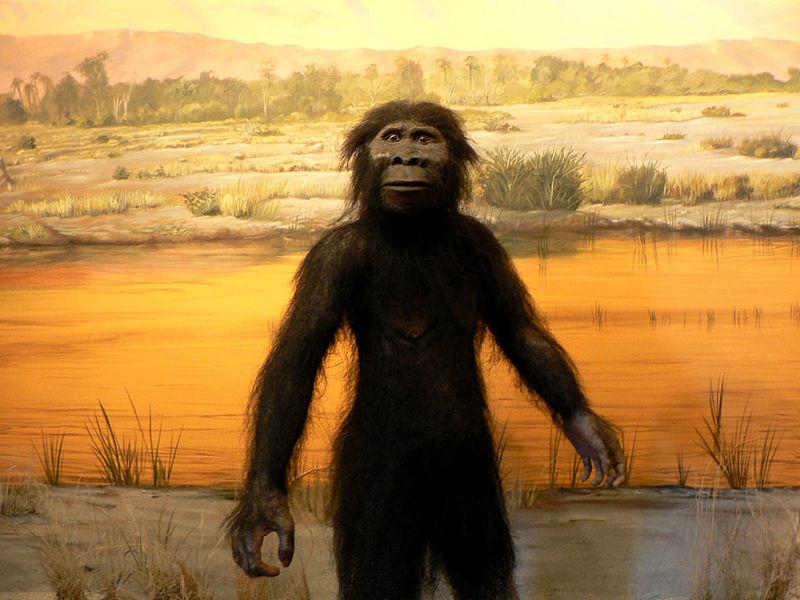 File:Australopithecus afarensis LVNHM.jpg