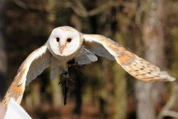 Tyto Alba flying.jpg
