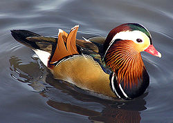 Male mandarin duck.jpg