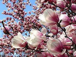 Magnolia5.jpg