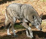 Red wolf 3.jpg