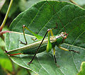 Black-legged meadow katydid.jpg