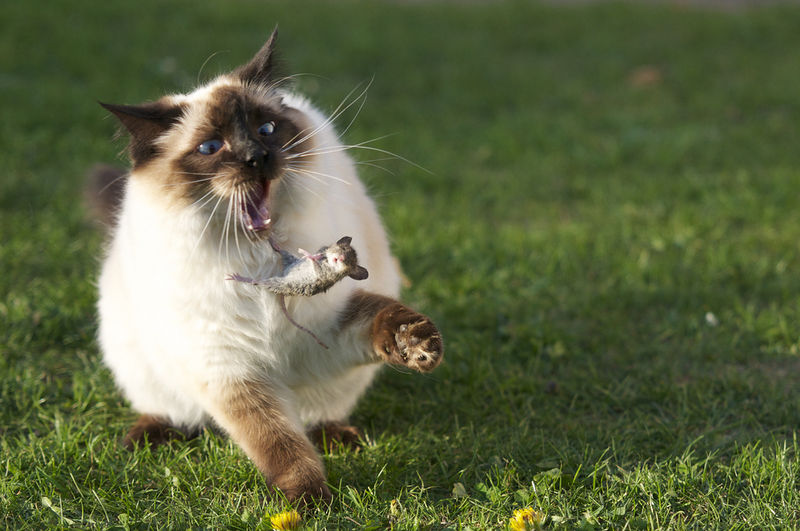 File:Cat attacking mouse.jpg