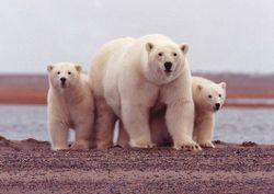 Polar Bear Mom.jpg