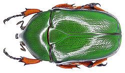 Scarab beetle.jpg