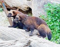 Wolverines.jpg