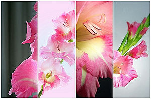 Gladiolus -1.jpg
