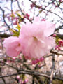 Prunus Sarrulata Flowers.jpg