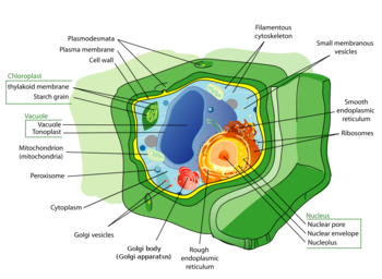 Plant cell structure.png