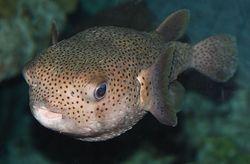 Puffer Fish.jpeg
