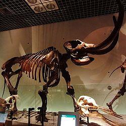 American mastodon Skelton.jpg