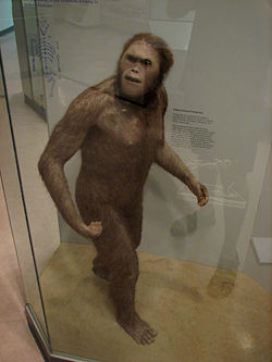 Australopithecus afarensis UNM.jpg
