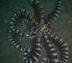 Mimic octopus.jpg