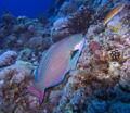 Bicolour parrotfish.jpg