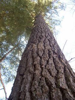 E white pine.jpg