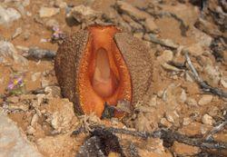 Hydnora africana.jpg