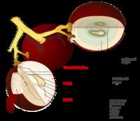 Grape fruit anatomy.png