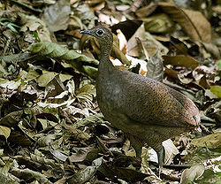 Great Tinamou.jpg
