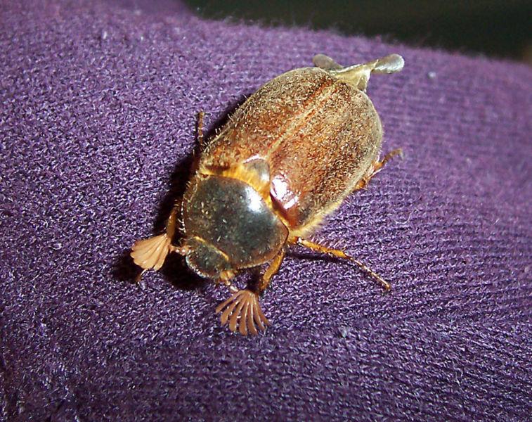 File:Beetle.jpg