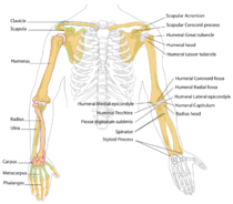 appendicular skeleton diagram actltk : appendicular skeleton diagram - findchart.co