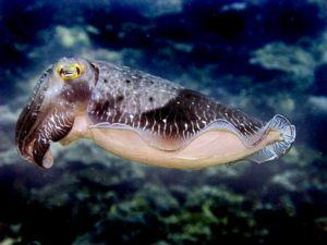Broadclub cuttlefish.jpg