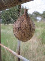 Spider Egg Sac Identification