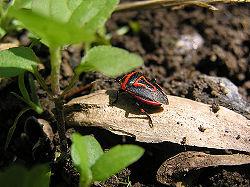 Spotted Stink Bug.jpg