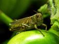 Grasshopper with apple.jpg