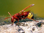 Hornet - CreationWiki, the encyclopedia of creation science