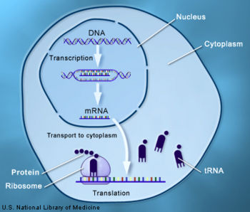 Dna transcription creationwiki the encyclopedia of creation science diagram of transcription and translation during gene expression ccuart