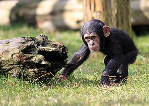 Baby chimp.jpg