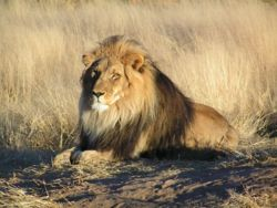 Lion waiting in Nambia.jpg