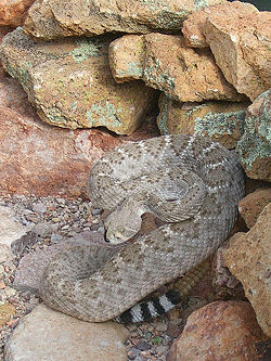 Western diamondback rattlesnake - CreationWiki, the enc