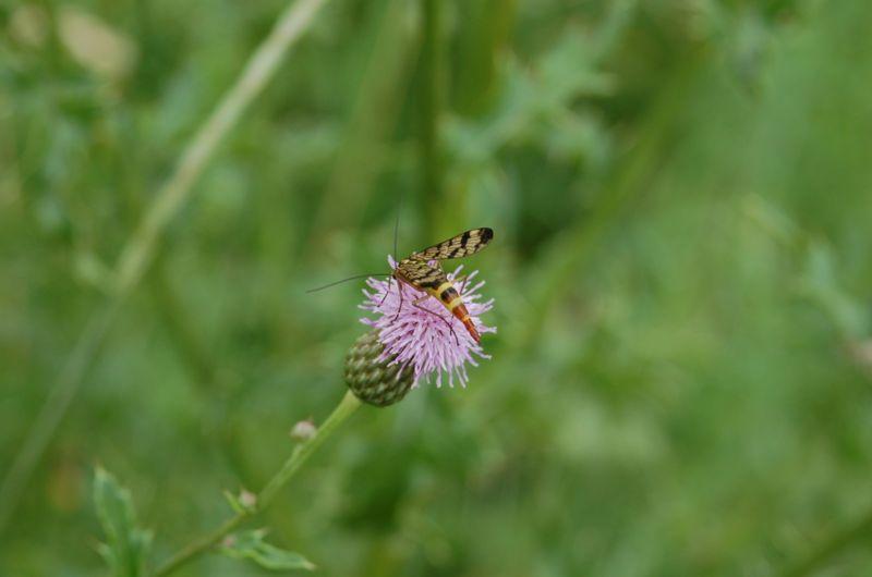 File:Scorpionfly.jpg
