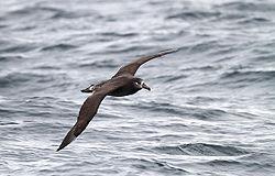 Black-footed albatross.jpg