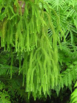 Lycopodium squarrosum.png