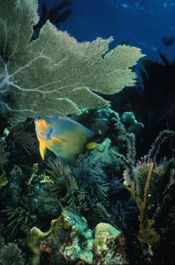 Queen Angelfish 3.jpg