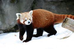 Red panda.2.jpg