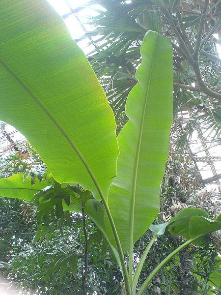Как сделать банан для пальмы 581