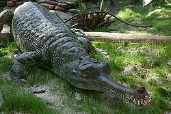 Indian Gharial Crocodile Digon3.JPG