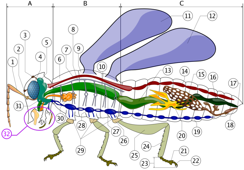 File:Anatomy of insect.png