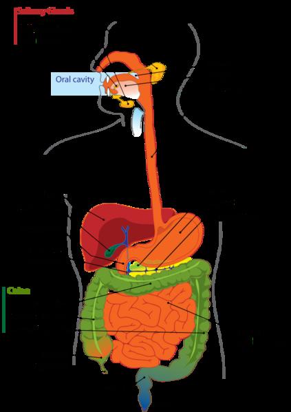 File:Digestive system diagram.png