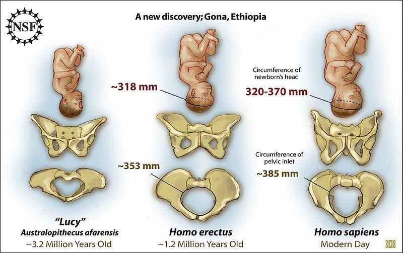 File:Homo erectus pelvis.jpg