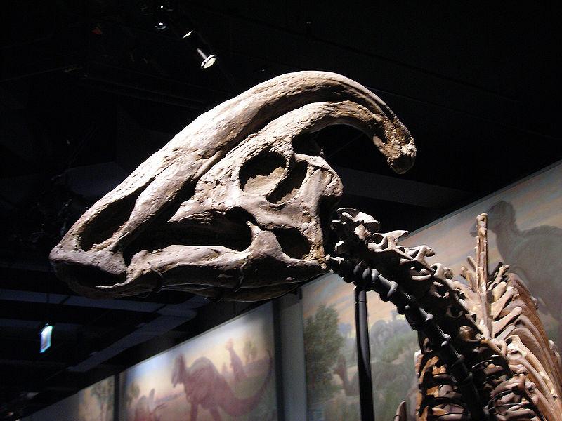 File:Parasaurolophus skull.jpg