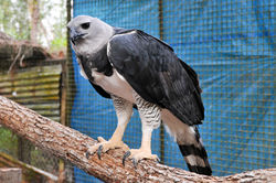 Perched harpy eagle.jpg
