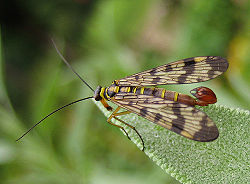 Scorpion Fly on leaf.jpg