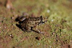 Greenhouse Frog 1.jpg