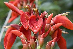 Erythrina crista-galli sub-family:Faboideae