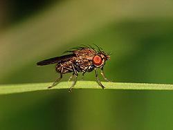 Drosophila melanogaster.jpg