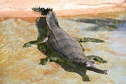 Gavialis gangeticus.jpg